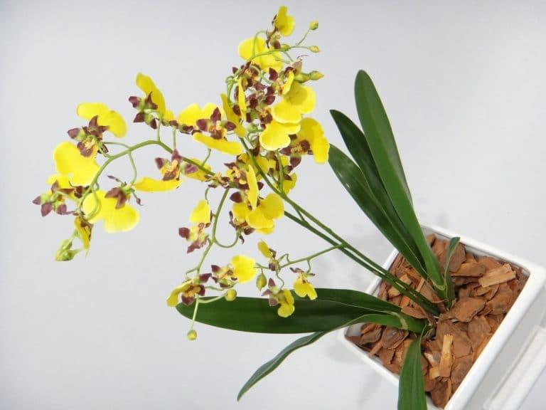 cuidado de las orquídeas oncidium
